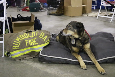 This firehouse-dog lay patiently under the Humboldt Bay Fire table at the 30th annual Dog Expo at Redwood Acres in Eureka on Sunday afternoon. (Hunter Cresswell - The Times-Standard)
