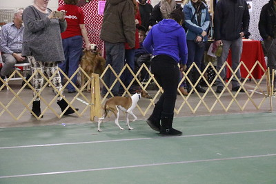 This lone Italian greyhound walked during the toy breed section of the parade of breeds at the 30th annual Dog Expo at Redwood Acres in Eureka on Sunday afternoon. (Hunter Cresswell - The Times-Standard)