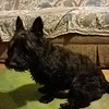 Manny the Scottish terrier