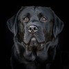 Dog Photographer Andy Biggar Photography Labrador Portrait