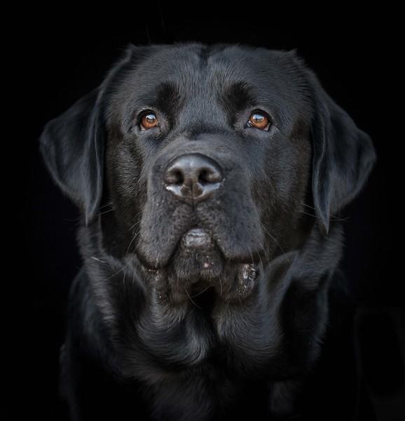 Dog Photographer Andy Biggar Photography Labrador Portrait