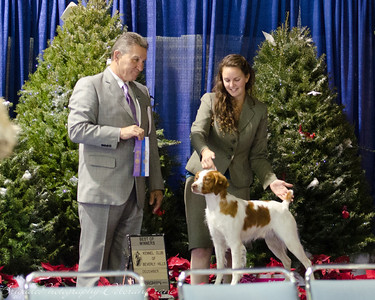 Congratulations Emily and Flynt on Flynt's 2nd 5 pt major 1/W/BW   17 SHILOH'S LIGHT MY FIRE, JH , SR61468202 3/5/2010. Breeder: Don & Peggy Echavarria. By DC Redline's Smokin Gun -- CH Shiloh's Tru Believer JH. Emily Fisk . Dog.