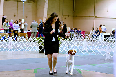 1st Best in Sweepstakes 19 EXEBRIT'S HIGH SIERRA STORM , SR68052203 4/29/2011. Breeder: L. & A. Altshuler and S. Kerns. and B. Rosener By GCH Sunquest Cimmaron Catch The Wind -- CH Exebrit's Little Storm. Judy Loundagin and Donna Russell . Dog. Emily Fisk, Agent.