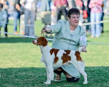 GCH Brigade's Hi Hopes Rocket JH  Handler: Lousie Brady    Palm Springs KC - Select Dog Rocket finished 2011 with 63 Grand Champion Points. National ranked 23 out of the top 100 Brittanys and ranked 5th in California.