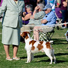 GCH Brigade's Hi Hopes Rocket JH  Handler: Lousie Brady    Palm Springs KC - Select Dog