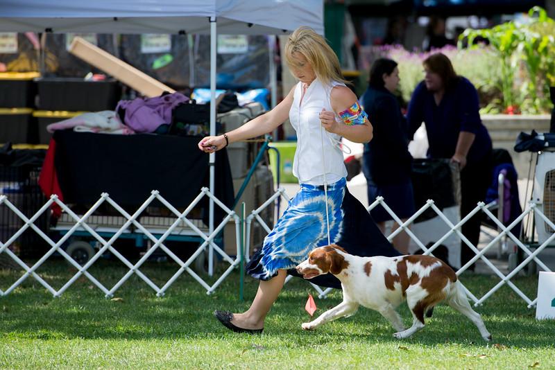 CH BLUERIDGE'S SPIRIT. SR 79486102. 07-29-13<br /> By GCH Powder River's Top Gun - Kabina's Double Shot Expresso. Dog. <br /> Owner: George Stern, Palo Alto, CA 943030711. Breeder: David Downing & Nancy Crandall & Kaitlyn Sanchez.<br /> (Lauren House, Agent).