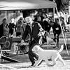 LAGOTTO ROMAGNOLO Best-of-Breed/Variety B      5FEBO , SR85194401 11/27/2013. Breeder: Marcello Petricciuolo. By Leo -- Di Villa Federici Elisa. Linda Campbell . Dog. Jeff Heim, Agent.