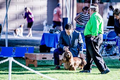 MITCHELLCROFT STONYBECK RUMPOLE OF THE BAILEY , SR88913401 6/2/2015. Breeder: owner. By GCH Lexxfield Stonybeck Bob -- CH Stonybeck Mitchellcroft Class Action. Janet Mitchell & Jan Euphrat-Hepper . Dog. Joseph Berkau, Agent.