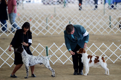 Rocket (Brittany) CH Brigade's Hi Hopes Rocket JH handler Roger Kibbee Kathy Grayson handled Rocket in Best of Breed