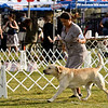 B 21 CH MERCURY OF KING RUSSKY JP , SR71015001 11/13/2009. Breeder: owner. By Ridge View Call My Bluff -- First Dinos JP Blunes. Miyoko Tamagawa . Dog. Valerie Nunes-Atkinson, Agent.