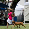 GCH JEN'S PENNY MATRA'S BACI BOOGIE FEVER , SR47293403 11/23/2007. Breeder: Nancy Guarascio. & Jennifer Woodside By CH Renaissance Lord Of The Dance -- CH Jen's Penny Madison's Uptown Girl. Marni Stratford & Nancy Guarascio & Linda Durham. Dog. Lauren House, Agent.