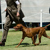 CH KEZDET'S RUSSET LEATHER RIVER WHISPER , SR52322303 8/23/2008. Breeder: Barry Golob & Judy Saddlemire. By CH Vally Hntrs Natural Selection JH -- Kezdet's Warrior Whisper JH. Adrian & Beverly Wanjon & Barry Golob & Judy Saddlemire and Rich Mysliwiec Jr. Dog. Anna Morgan, Agent.