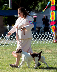 ARROW'S SWIFT COURAGE COOKIE. SR 89250403. 08-19-15 By GCH DC Sanbar Caslte Built On Legends JH - Ch Shiloh's I'm A Tough Cookie.  Owner: Kary & Greg Lampman, Atascadero, CA 93422. Breeder: Emily Fisk & Kyle Hodges.