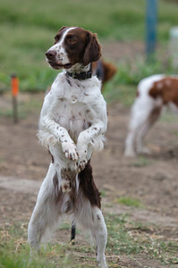 Larry the Biped Brittany