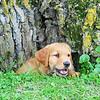 Golden Retriever Puppy by tree