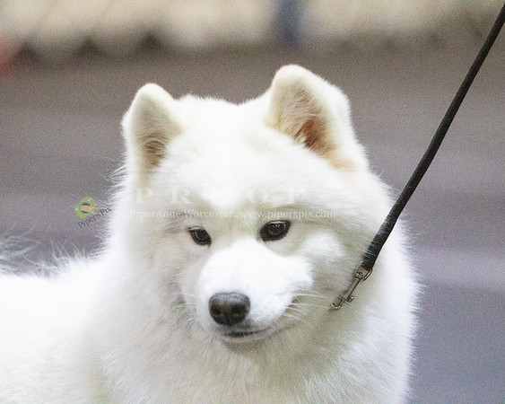 Denver Samoyed Specialty Show 2019