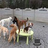 Stella sharing her table with a new beagle friend !