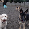 Teddy is kicking it with the GSD's today ;)