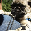 The cute little pug puppy caught onto the camera string :)