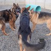 German Shepherd Huddle