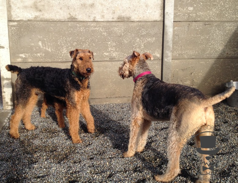 Airedale stand off!