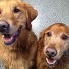 A couple handsome goldens!