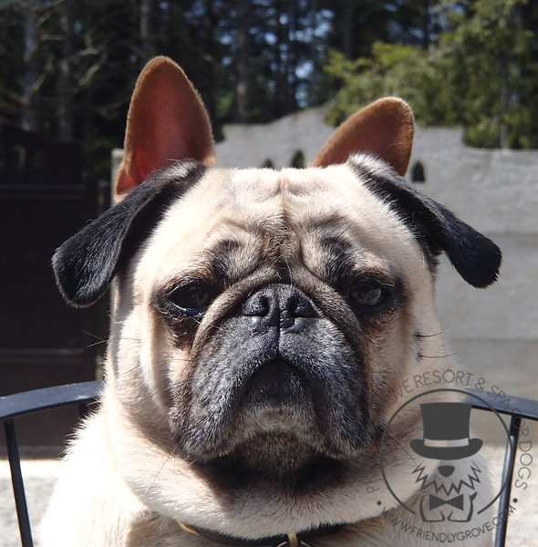 It's a pug with boston terrier ears :)