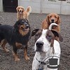 Zeus hanging out with daycare buddies Koa, Charlie and Oly !