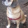 Puggle profile shot!