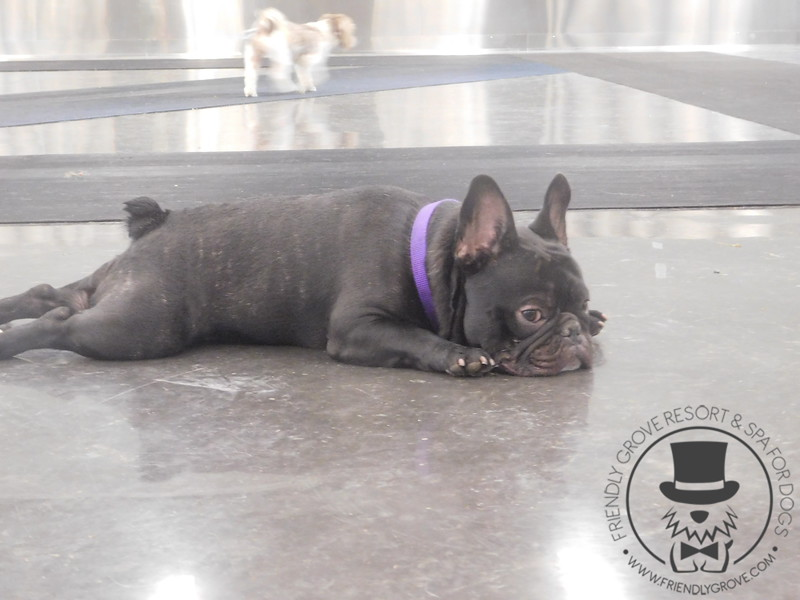 tired frenchie ;)