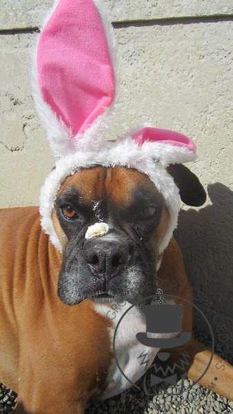 Bella the Easter Boxer trying to figure out how to get the delicious cake off of her nose!