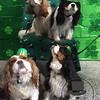 Cavaliers sporting St Patrick hats !