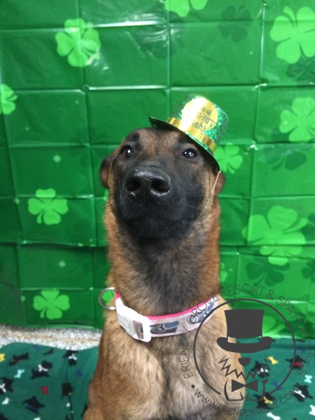 Stella says I'm a Belgium dog not Irish but I'll wear the hat for that cookie !