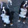 Nemo and Dalilah! Our Bernese buddies!