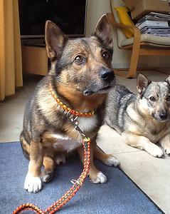 Kari's paracord-halsband en riem