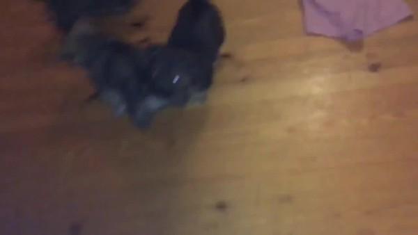 Bijna 6 weken oud, 3 reutjes. Iggy is donker met witte teentjes.