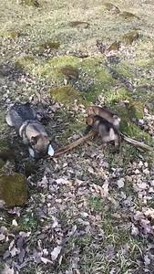 Iggy en zusje vechten om een speeltje (1)