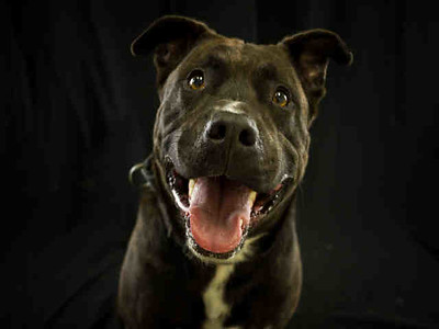 Bear is a male pit bull terrier mix who is 2 years old. (Contributed photo)