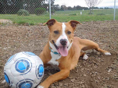 Roxy is a female pit bull terrier. (Contributed photo)