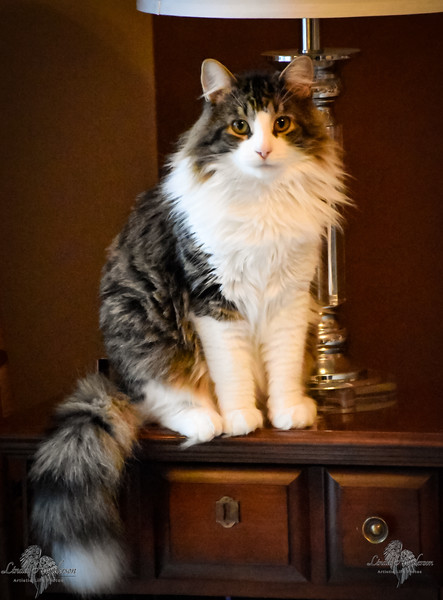Sydney, Norwegian Forest Cat