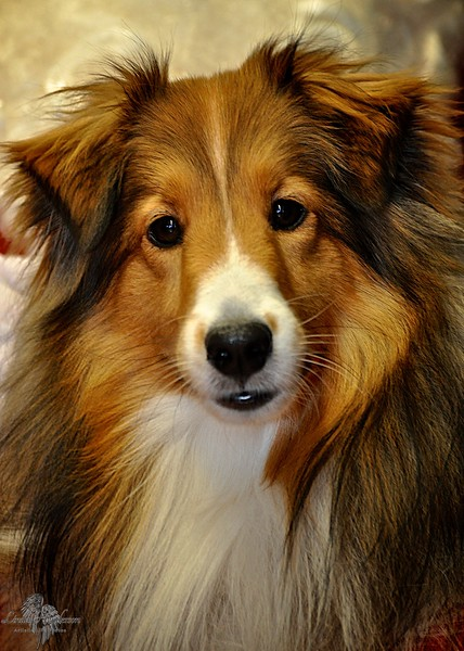 Lady Sheltie