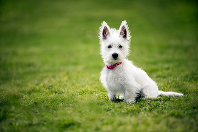 White West Highland Terrier Puppy