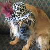 Brussels Griffon Dog in Leopard Hat