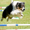 Dog Agility : To purchase prints, gifts, and digital files of any image, use the 'Buy' button to add photos to your shopping cart. For help with purchases, go to Print Help, or read about the Print Guarantee.