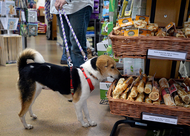 Tika sniffs the treats for sale Monday, Nov. 6, 2017, at Hank's Pet Food Market in Loveland. Tika is one of 11 dogs who were brought here from Nepal for a better life and the owners of Hank's, one of whom adopted Tika, helped with the cost to bring six of the dogs here. (Photo by Jenny Spars/Loveland Reporter-Herald)