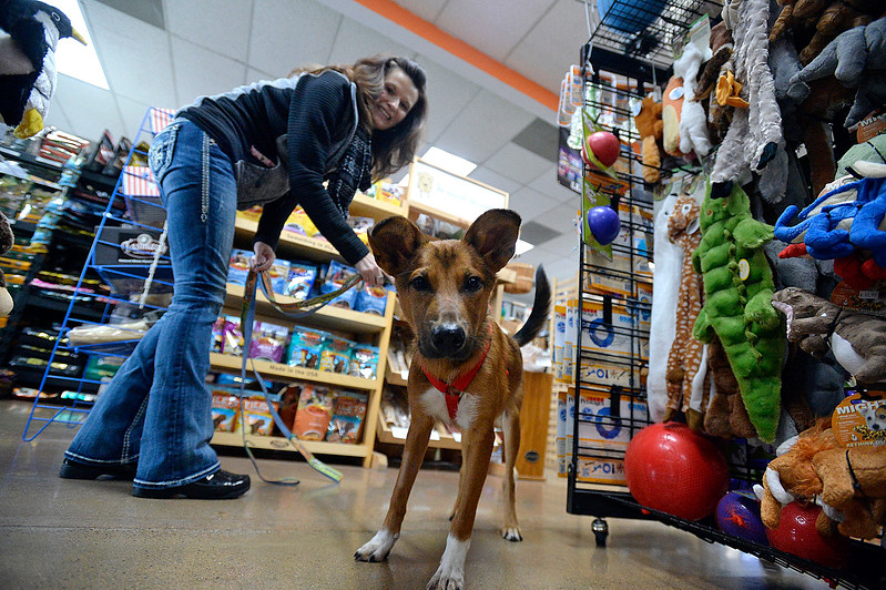 Grayson, a 7 month-old dog from Nepal, leads his foster mom, Brenda Adams around Monday, Nov. 6, 2017, at Hank's Pet Food Market in Loveland. Grayson is one of 11 dogs who were brought here from Nepal for a better life and Hank's helped with the cost to bring six of the dogs here. (Photo by Jenny Spars/Loveland Reporter-Herald)