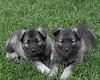 Kyra Puppies-20100629-0068