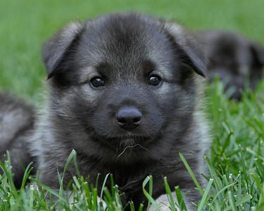 Dogs - ISBJORN