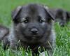 Kyra Puppies-20100625-0013