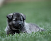 Kyra Puppies-20100629-0093